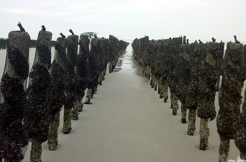 bouchot_mussels