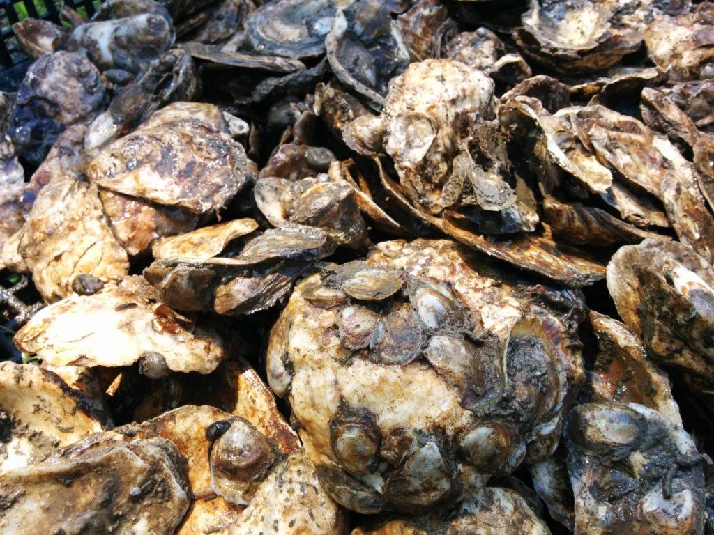 Oyster shellstock