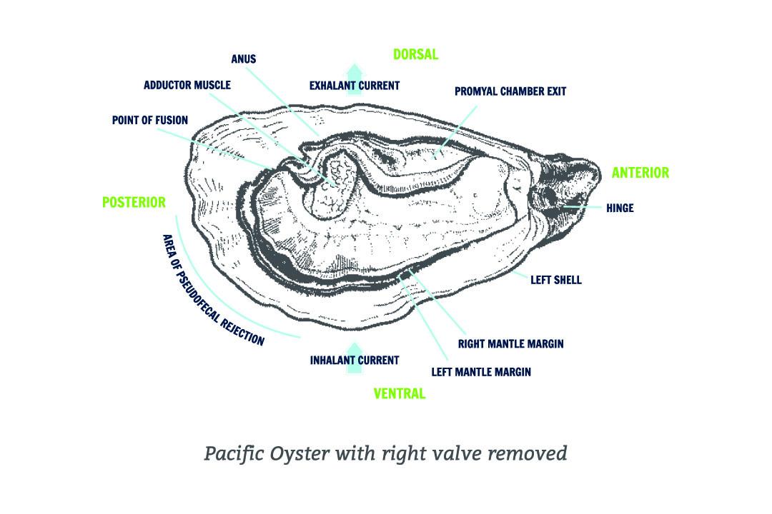 Oyster Anatomy