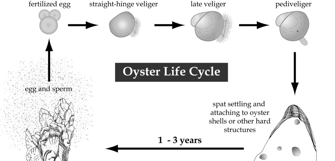 The Life Cycle of Oysters in the Wild – Element Seafood