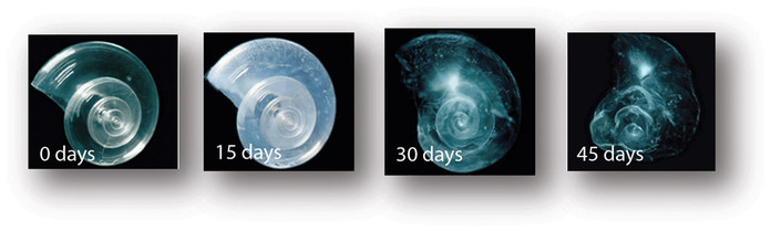 A shell placed in seawater with increased acidity slowly dissolves over 45 days. Source: NOAA