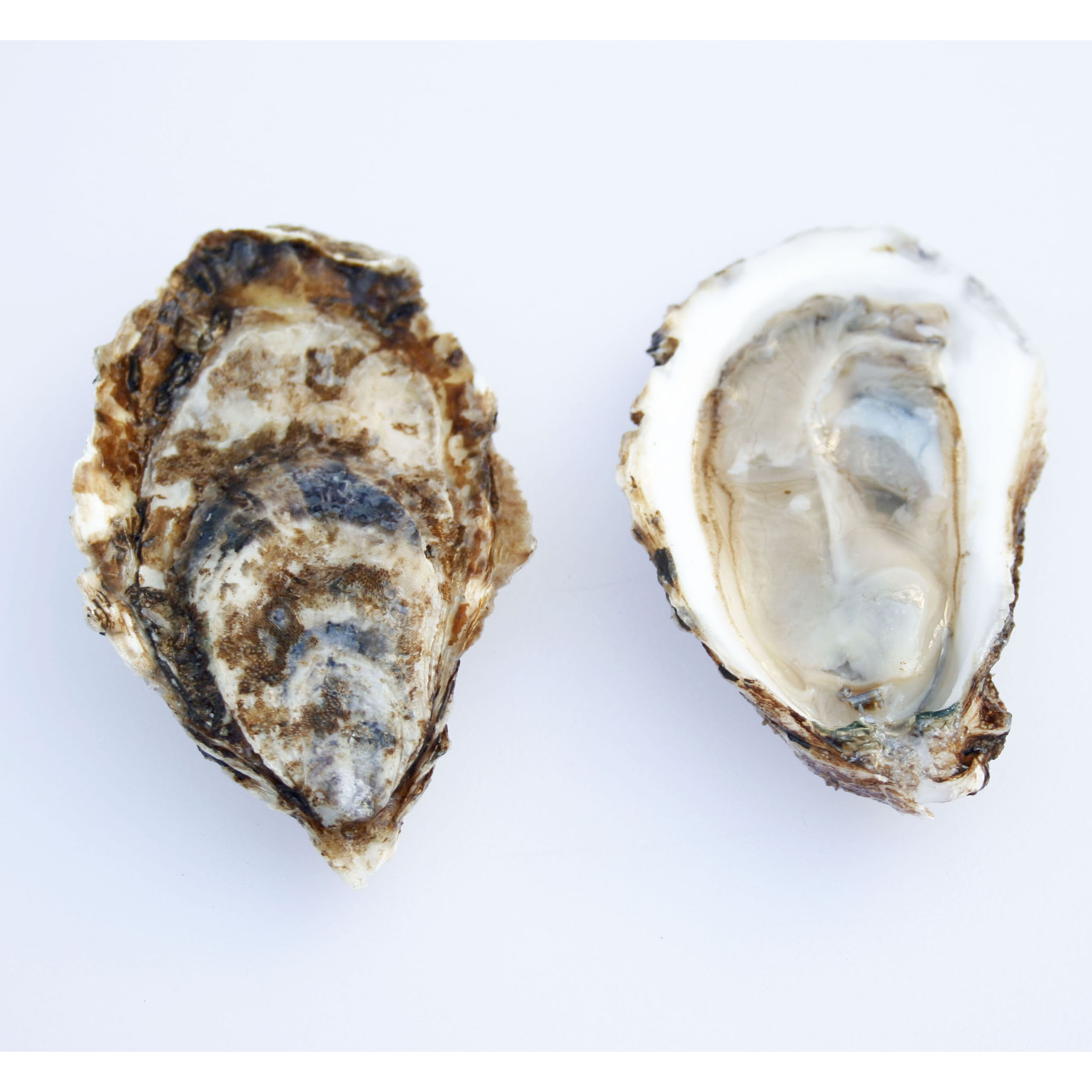 Beau Soleil Oyster Front and Back